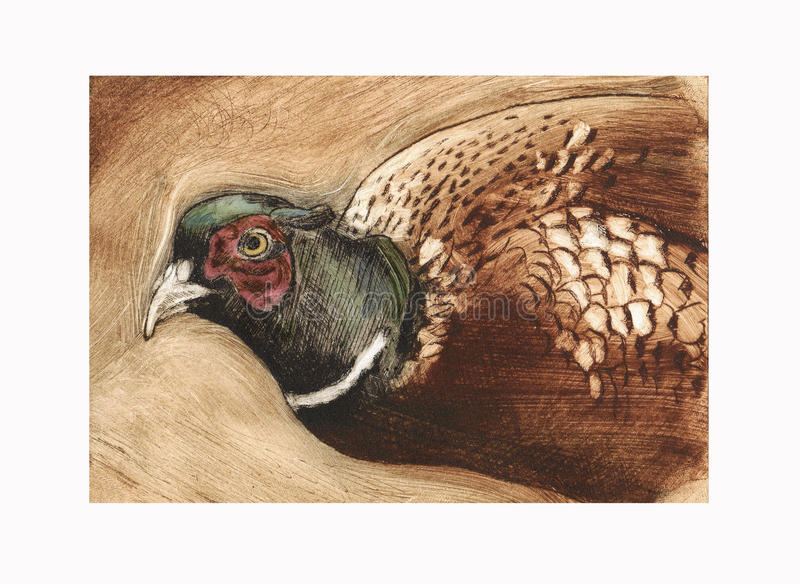 Pheasant etching. Pheasant dry point etching illustration royalty free illustration