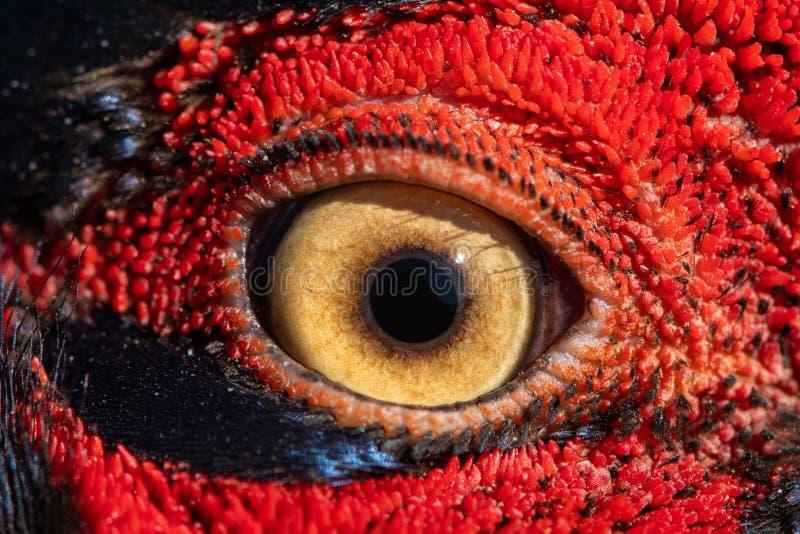Pheasant eye close-up, macro photo, eye of the Ringnecked pheasant male, Phasianus colchicus.  royalty free stock image