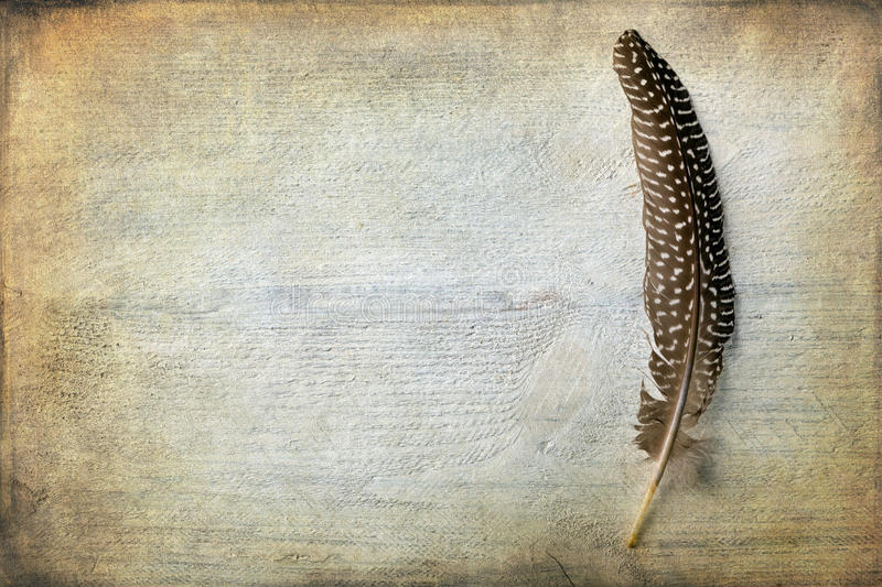 Pheasant feather with texture. Pheasant feather lying on a grunge piece of wood with copy space royalty free stock photography