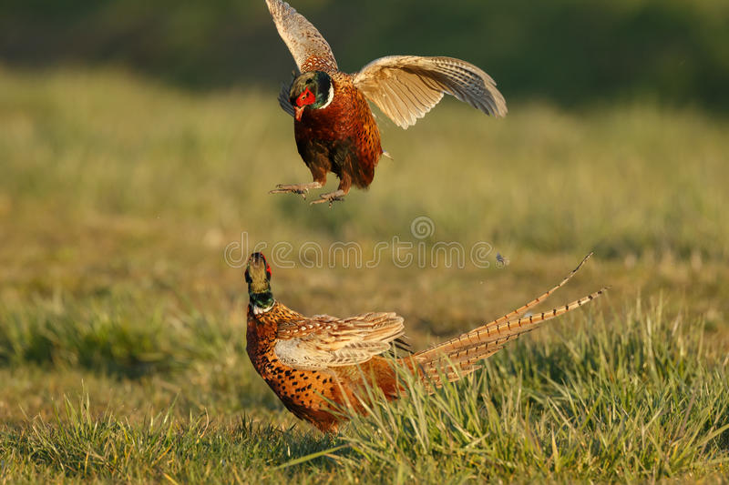 Pheasant fighting. In the spring during mating season royalty free stock image