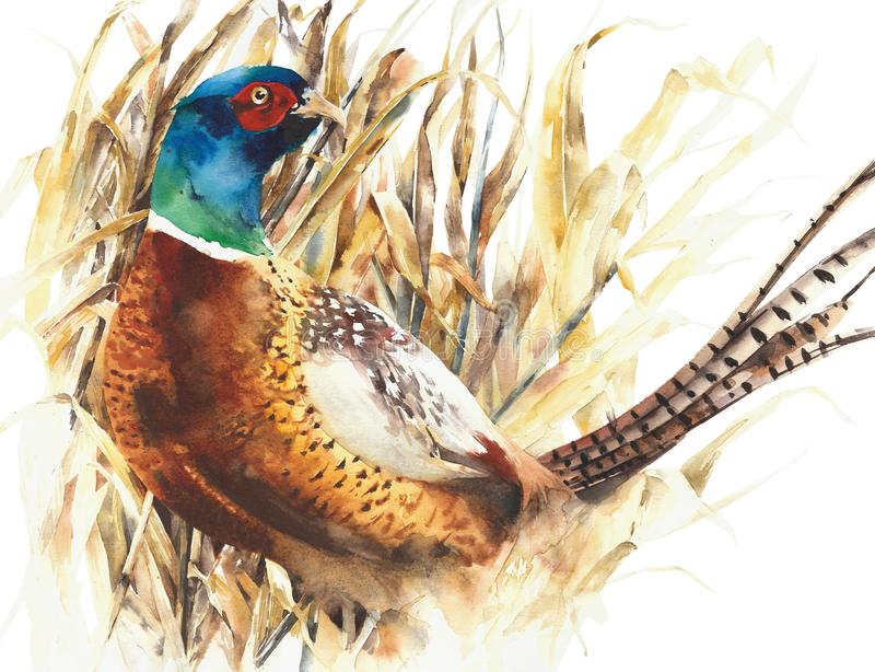Pheasant game bird farm bird colorful animal watercolor painting illustration isolated on white background. Pheasant game bird farm bird colorful animal stock illustration