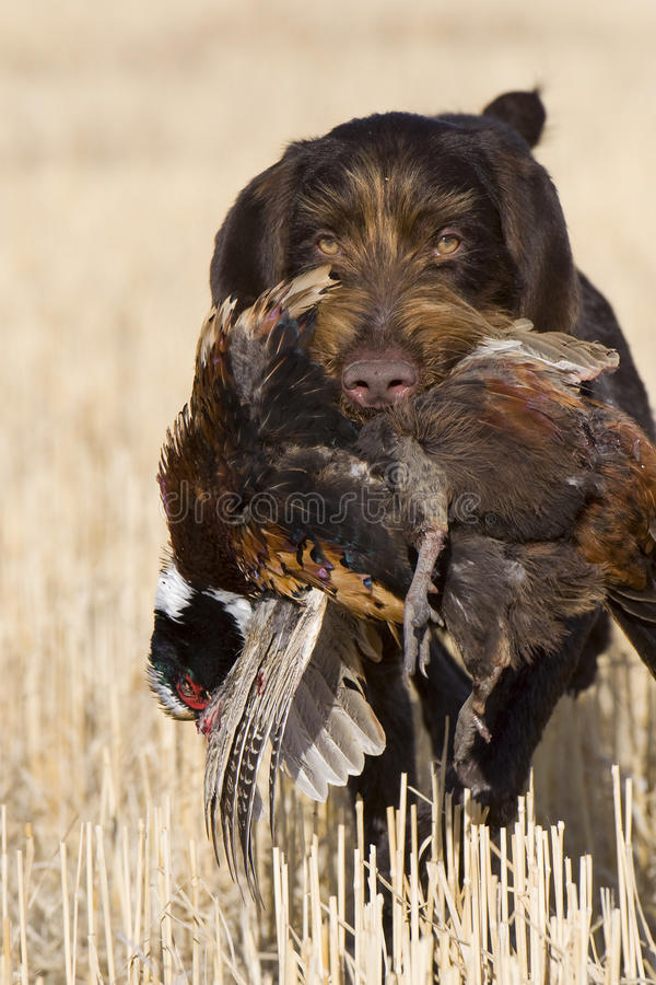 Pheasant Hunting. Hunting Dog retrieving a Rooster Pheasant royalty free stock photography