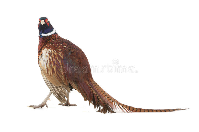 Pheasant. Hunting is photographed in studio royalty free stock images