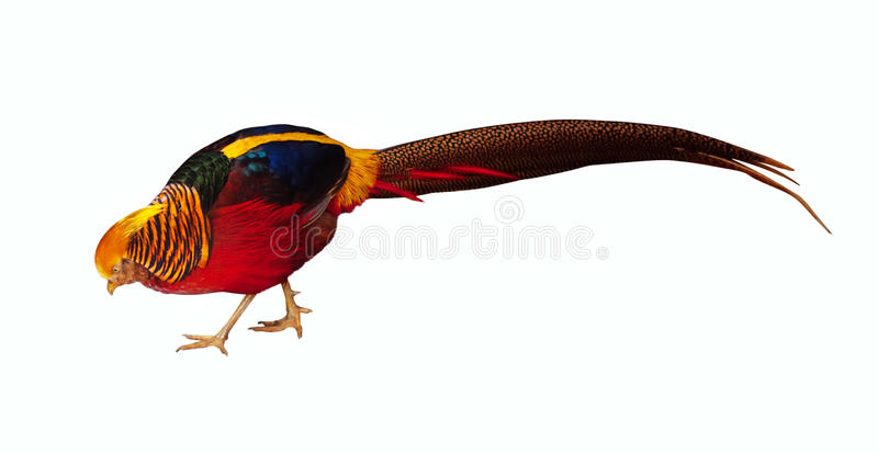 Download Pheasant. Isolated Over White Stock Photo - Image: 25343216