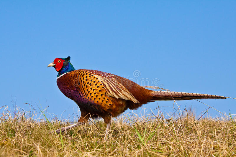 Pheasant male. In the dunes stock image