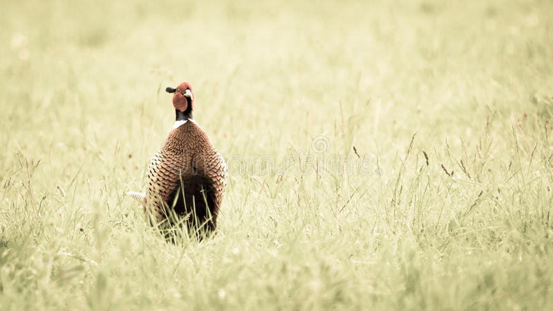 Pheasant. A male pheasant standing out of the grass field in an alert display stock image