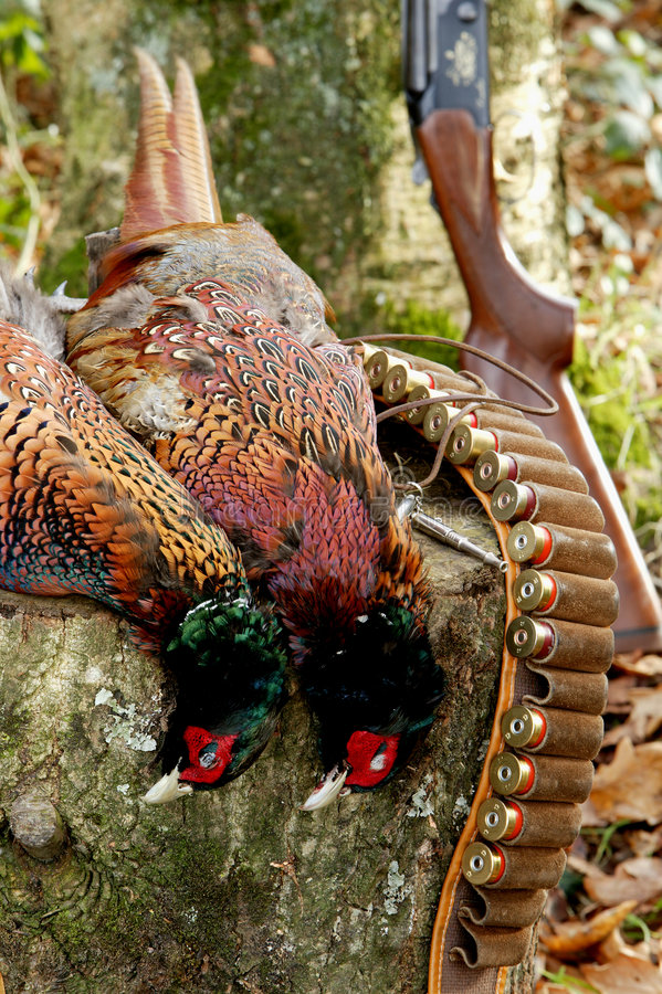 Pheasant Shooting. Woodland scene of pheasant hunting