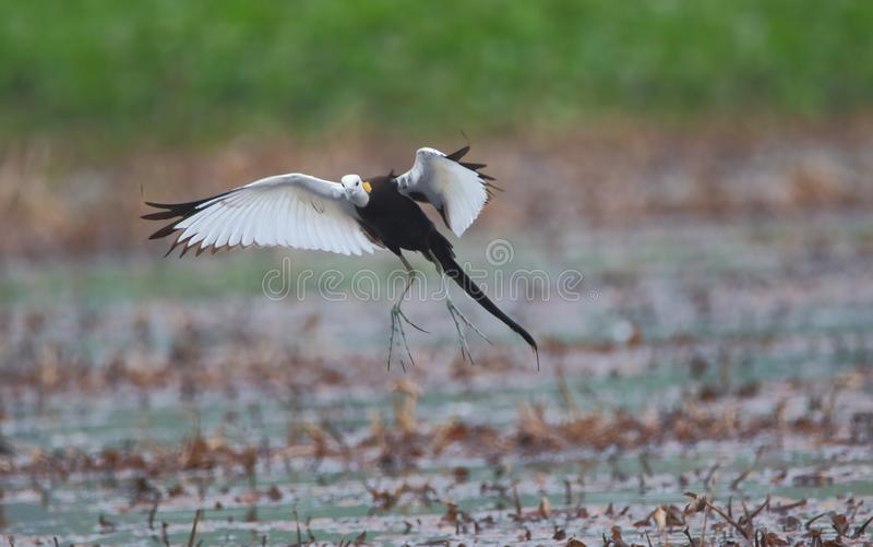Pheasant tail jacana bird. Pheasant tail jacana small flight on water of pond. when bird looking for food in water, it takes a short flights to change the place stock image
