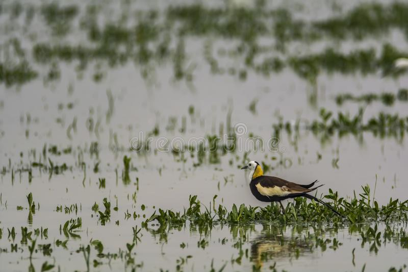 Pheasant tailed Jacana at the Hoskote lake, Bangalore. The pheasant-tailed jacana is a jacana in the monotypic genus Hydrophasianus. Jacanas are a group of royalty free stock image
