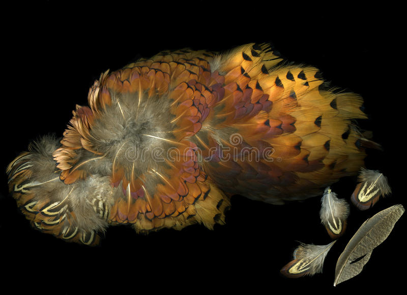 Download Pheasant Wing Feathers stock image. Image of large, downy - 10262399