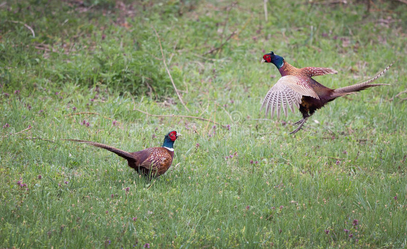 Pheasants fighting in nature. Pheasants fighting for superiority in grass in mating season. Wildlife in natural habitat royalty free stock photo