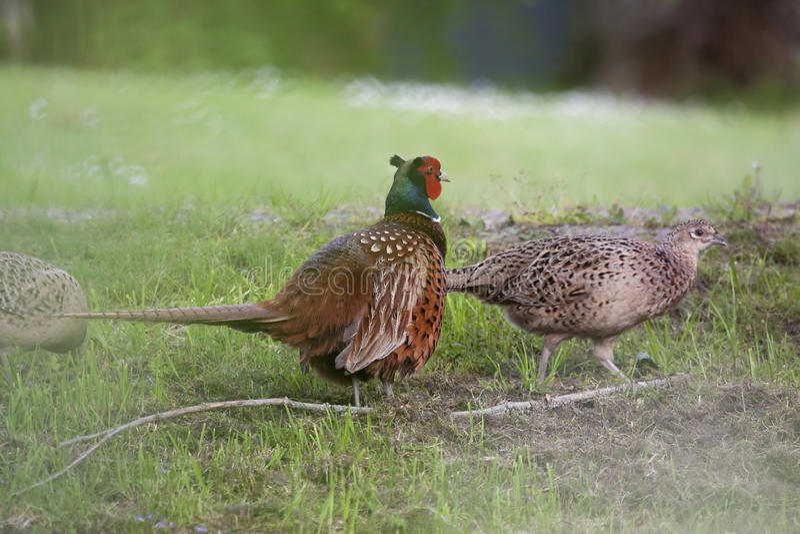 Pheasants stock photo