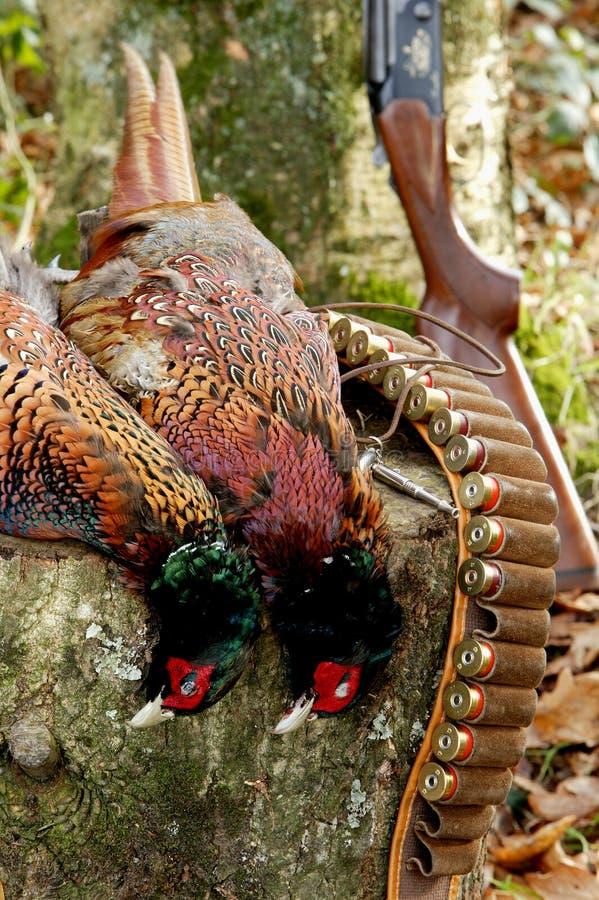 pheasantskytte royaltyfri foto