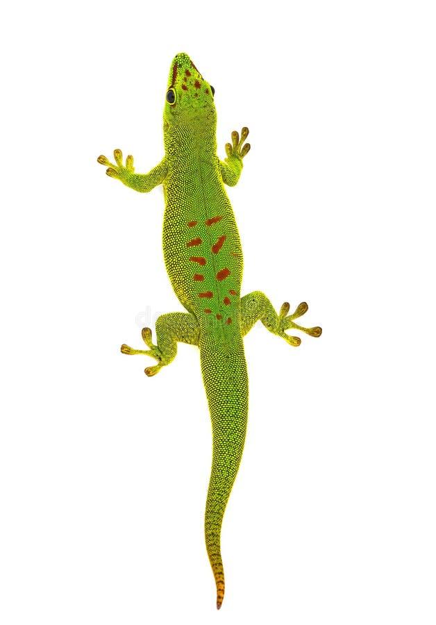 Phelsuma madagascariensis - gecko royaltyfria bilder