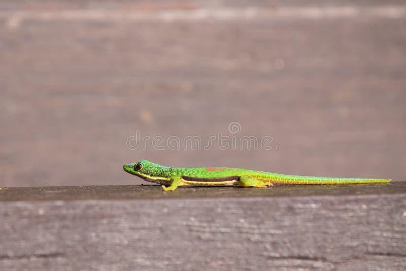 Phelsuma rayé Lineata Lineata de geckos de jour image libre de droits