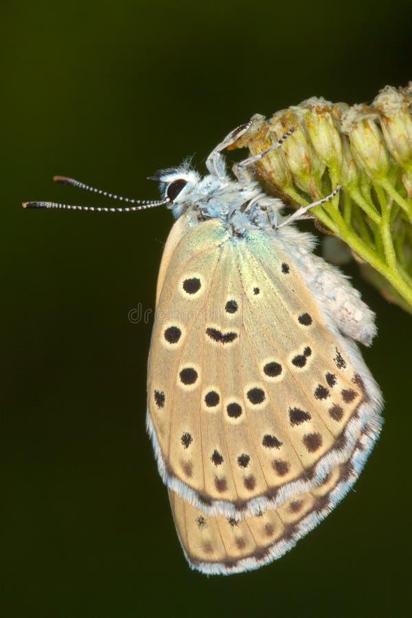 Phengaris ( Maculinea ) alcon close-up / royalty free stock photos