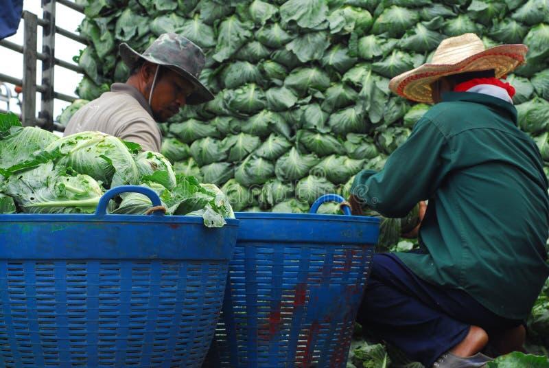 PHETCHABUN TAILANDIA - 24 DE JUNIO: arra orgánico de la col del trabajo del granjero fotografía de archivo libre de regalías