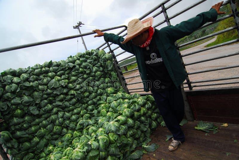 PHETCHABUN TAILANDIA - 24 DE JUNIO: arra orgánico de la col del trabajo del granjero imagenes de archivo