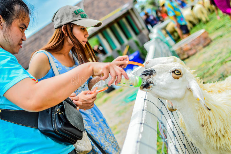 PHETCHBURI, THAILAND- JULY 21: Unidentified groups of men and women are feeding the sheep on July 21, 2013 in Swiss Sheep Farm, P. Hetchburi, Thailand royalty free stock photo