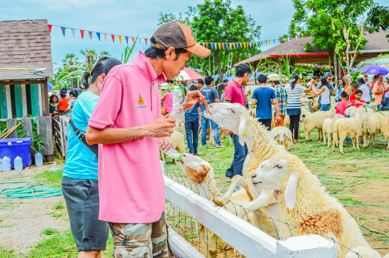 PHETCHBURI, THAILAND- JULY 21: Unidentified groups of men and women are feeding the sheep on July 21, 2013 in Swiss Sheep Farm, P. Hetchburi, Thailand stock images