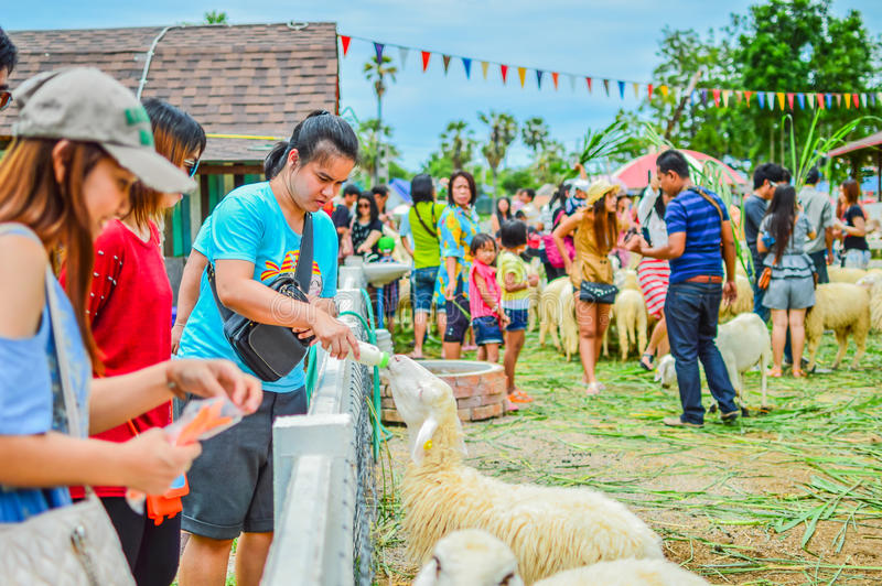 PHETCHBURI, THAILAND- JULY 21: Unidentified groups of men and women are feeding the sheep on July 21, 2013 in Swiss Sheep Farm, P. Hetchburi, Thailand stock image