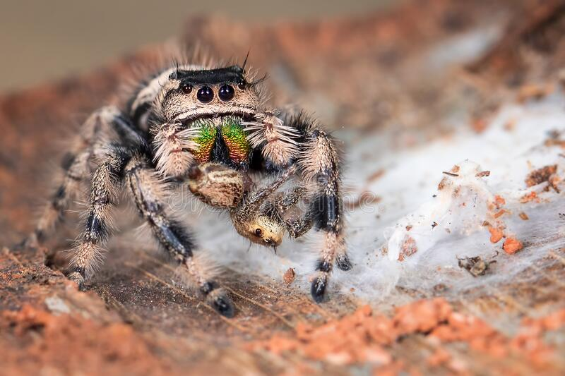 A Phidippus Regius female is eating the other small jumping spider royalty free stock photography