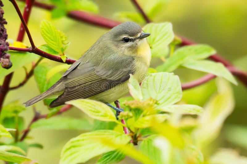 Philadelphia Vireo. Perched on a branch stock images
