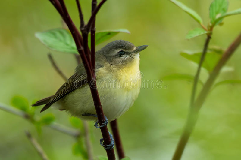 Philadelphia Vireo. Perched on a branch stock photography