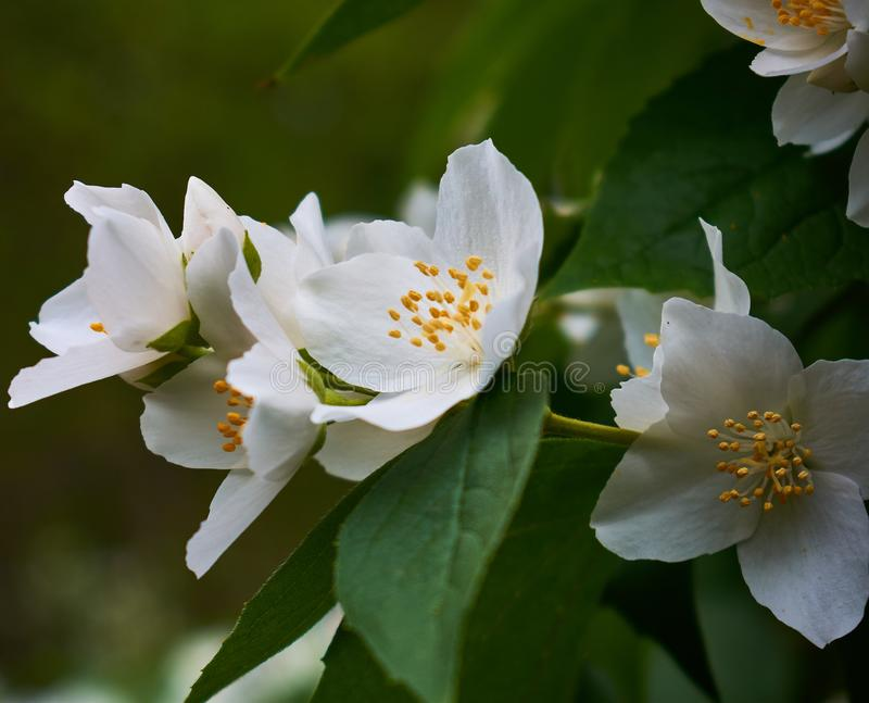 Philadelphus ονομάζονται το πλαστός-πορτοκάλι αναφορικά με τα λουλούδια τους, τα οποία στα άγρια είδη φαίνονται κάπως παρόμοια με στοκ εικόνα με δικαίωμα ελεύθερης χρήσης