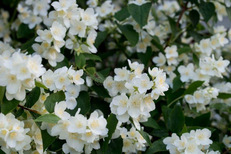 Philadelphus coronarius s?odka pomara?cze, Angielscy dereniowi biali kwiaty zdjęcia royalty free