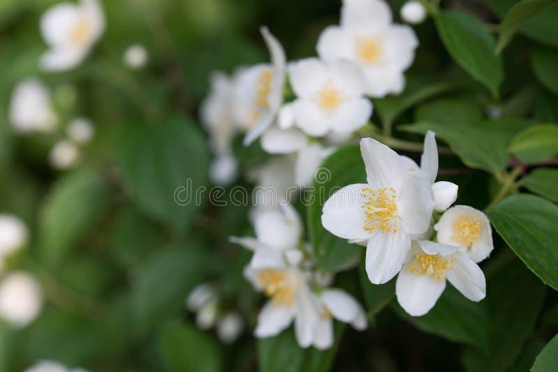 Philadelphus coronarius s?odka pomara?cze, Angielscy dereniowi biali kwiaty obrazy stock