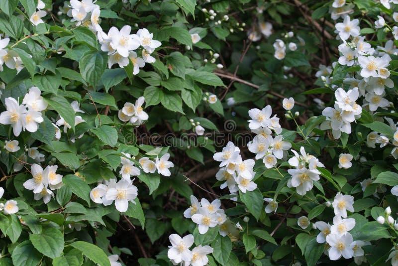 Philadelphus coronarius sweet mock-orange, English dogwood white flowers. Philadelphus coronarius sweet mock-orange, English dogwood white spring flowers stock images