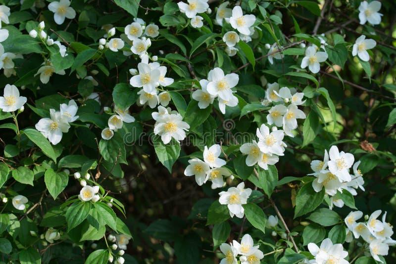 Philadelphus coronarius sweet mock-orange, English dogwood white flowers. Philadelphus coronarius sweet mock-orange, English dogwood white spring flowers stock image