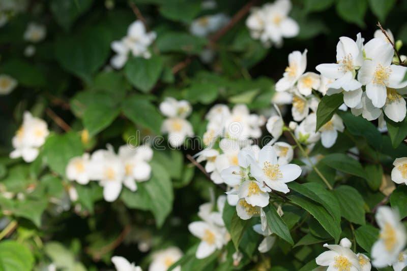 Philadelphus coronarius sweet mock-orange, English dogwood white flowers. Philadelphus coronarius sweet mock-orange, English dogwood white spring flowers stock photos