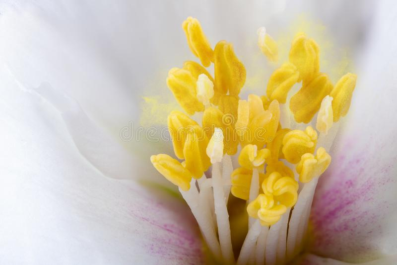 Philadelphus flower extreme close up with pollen. White Philadelphus flower stamens extreme close up with pollen stock photo