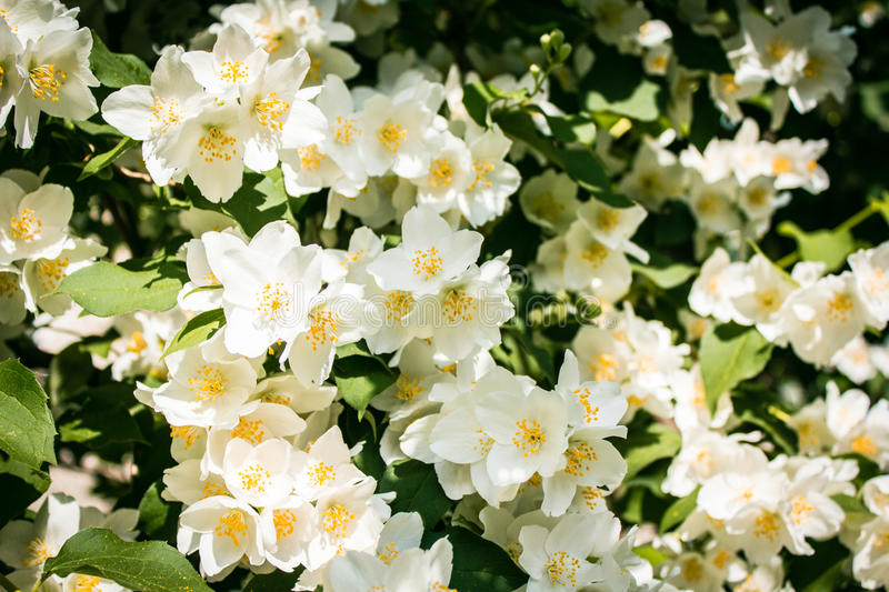 Philadelphus Lemoinei hibridus. Or mock orange flowers stock image