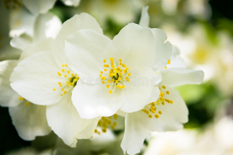 Philadelphus Lemoinei hibridus. Or mock orange flowers royalty free stock photos