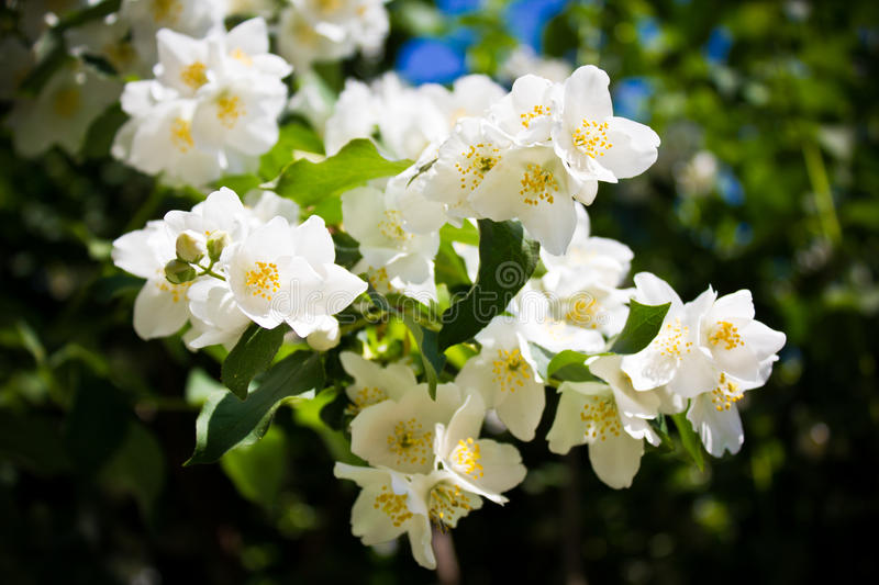 Philadelphus Lemoinei hibridus. Or mock orange flowers royalty free stock images