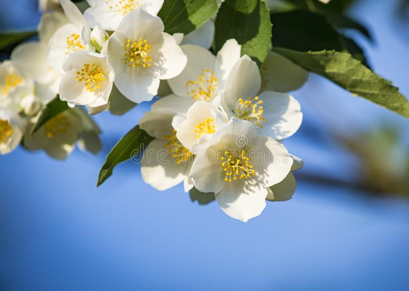 Philadelphus mock-orange, white spring flowers with jasmine scent. Space for text.  royalty free stock image