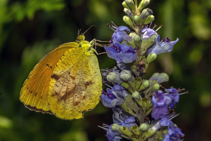 Philea de Phoebis, o enxofre alaranjado-barrado, borboleta imagem de stock royalty free
