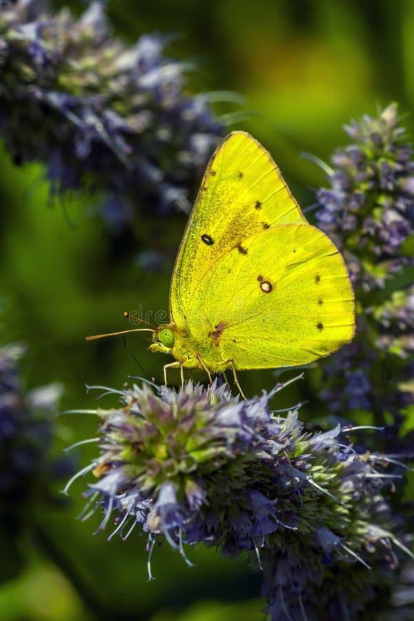 Philea de Phoebis, o enxofre alaranjado-barrado, borboleta fotos de stock royalty free