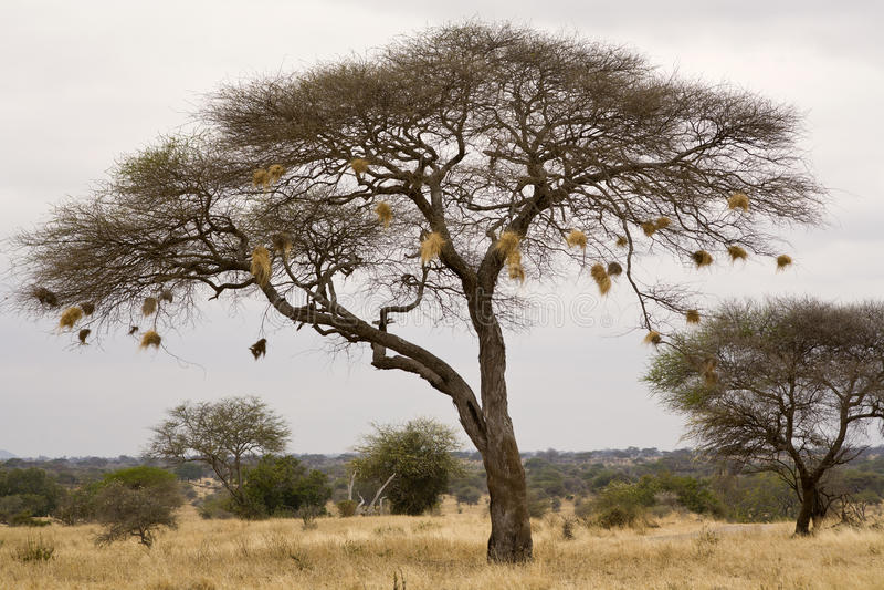 Philetairus bird_7318 del nido immagini stock libere da diritti