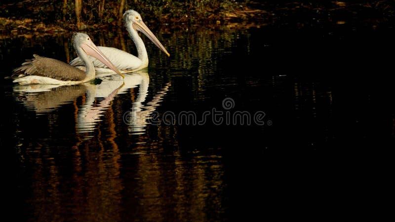 Philippensis Pelecanus - пары пятна представили счет пеликаны плавая на спокойном озере стоковые фото