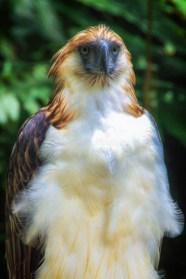 Филиппинский орел стоковые фотографии rf