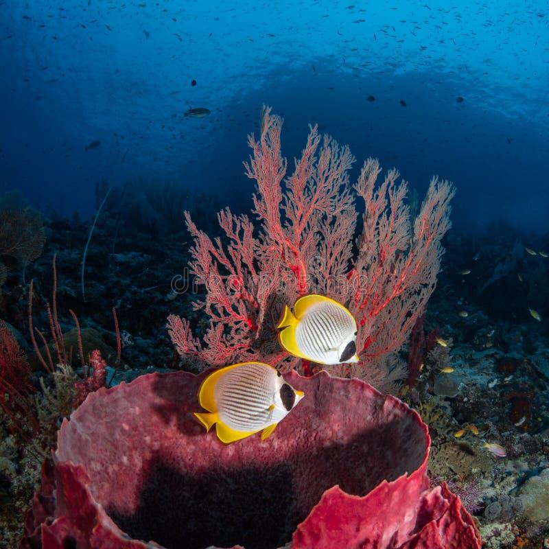 Philippine butterflyfish, Chaetodon adiergastos. Tropical coral background. Misool, Raja Ampat, Indonesia stock photos