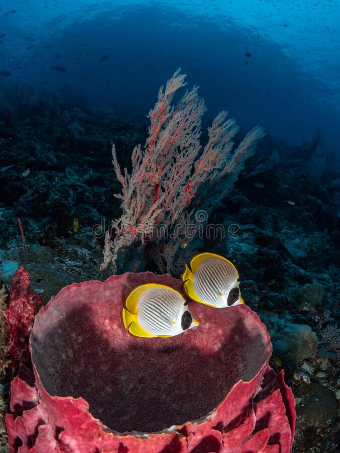 Philippine butterflyfish, Chaetodon adiergastos. Tropical coral background. Misool, Raja Ampat, Indonesia royalty free stock photography