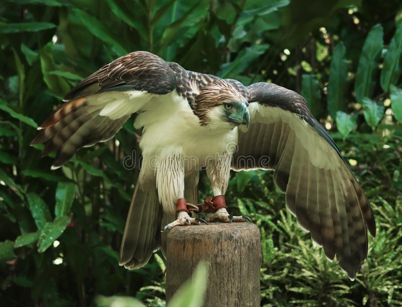 Philippine Eagle stock images