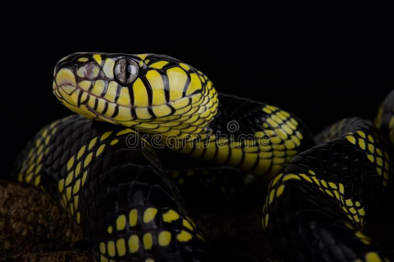 Philippine gold ringed snake Boiga dendrophila latifasciata. The Philippine gold ringed snake Boiga dendrophila latifasciata is a large, brightly colored, rear royalty free stock image