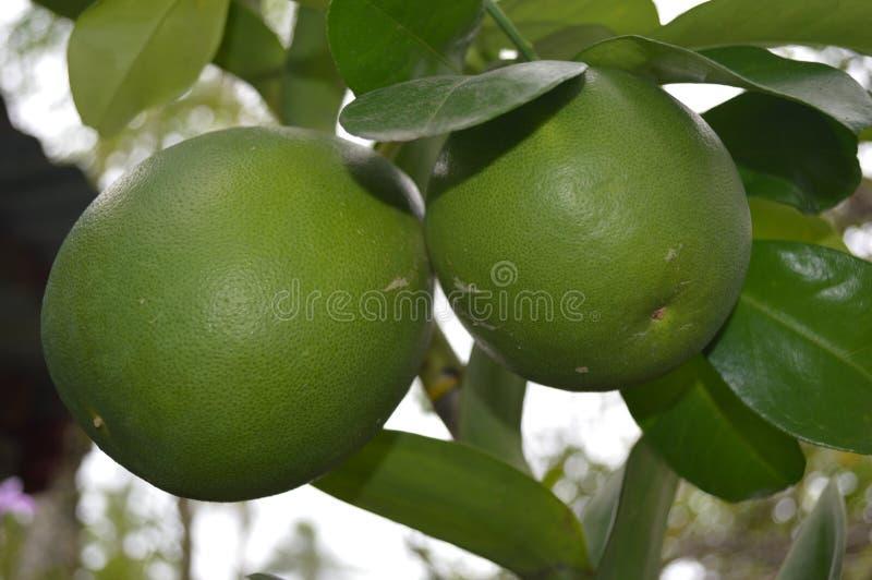 Philippine native Pomelo - scientific name Citrus maxima