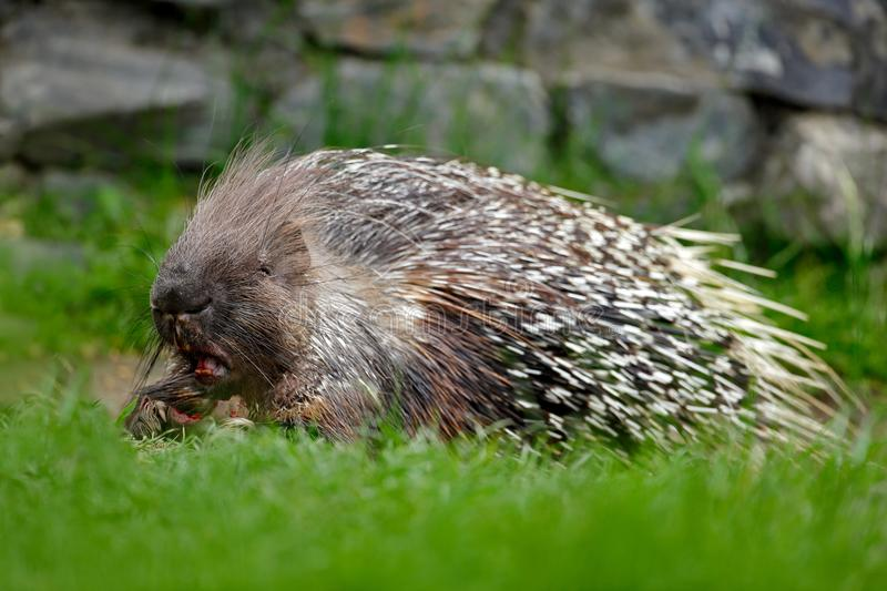 Philippine porcupine, Indonesian porcupine, or Palawan porcupine, Hystrix pumila, animal in the nature habitat. Mammal in grass. A royalty free stock photography